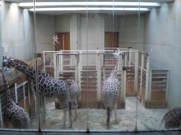 GiraffenhausZooLiberec1