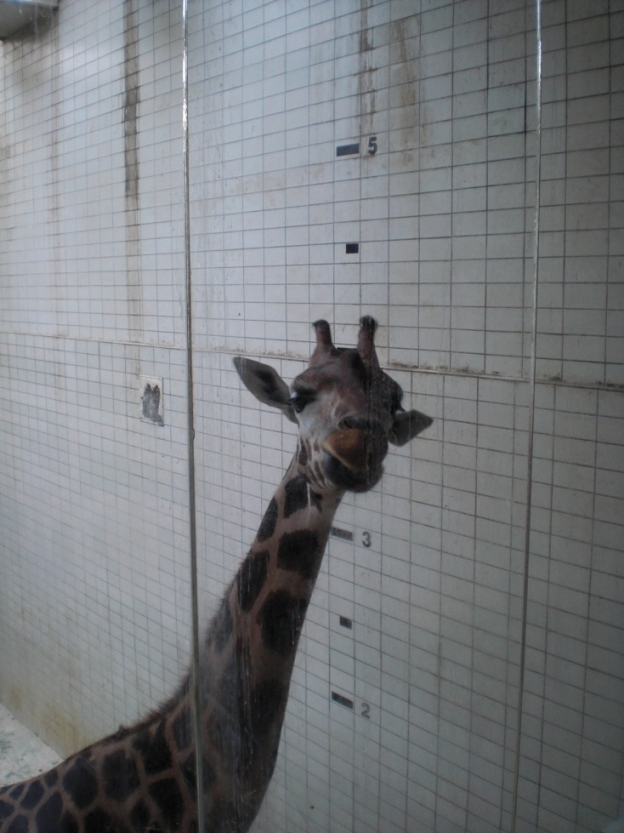 GiraffenhausZooLiberec2