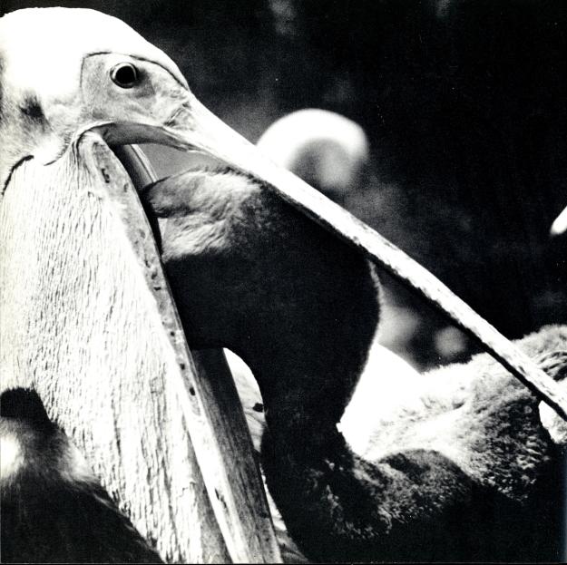 Aus Bichiceanu, Mircea: Pelicani...Pelicani..., București 1973
